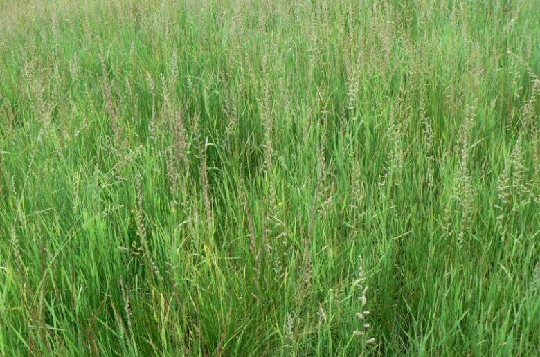 газонная трава бекмания обыкновенная