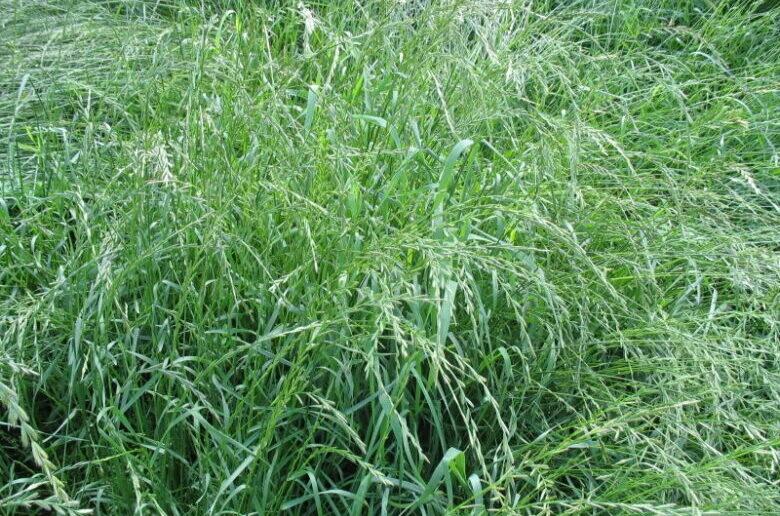 газонная трава фестулолиум