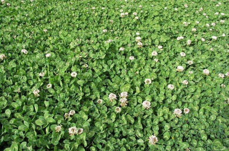 газонная трава клевер белый