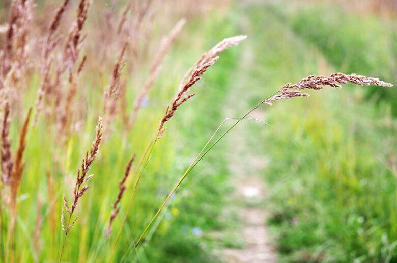 газонная трава овсяница красная