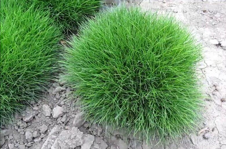 газонная трава овсяница красная волосовидная