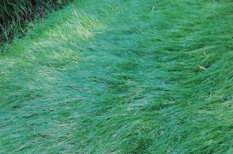 газонная трава овсяница красная жесткая