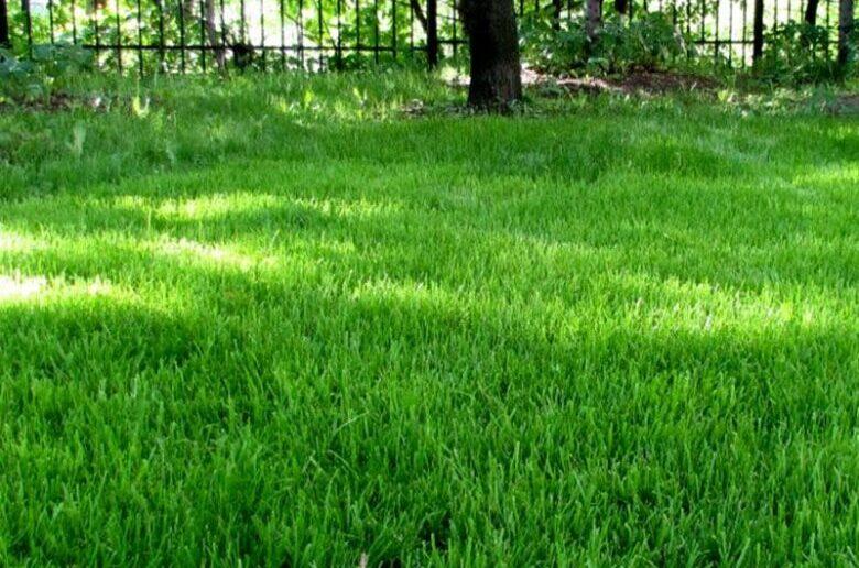 газонная трава овсяница луговая