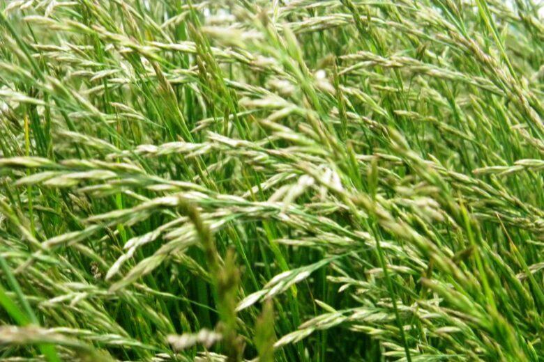 газонная трава овсяница тростниковая