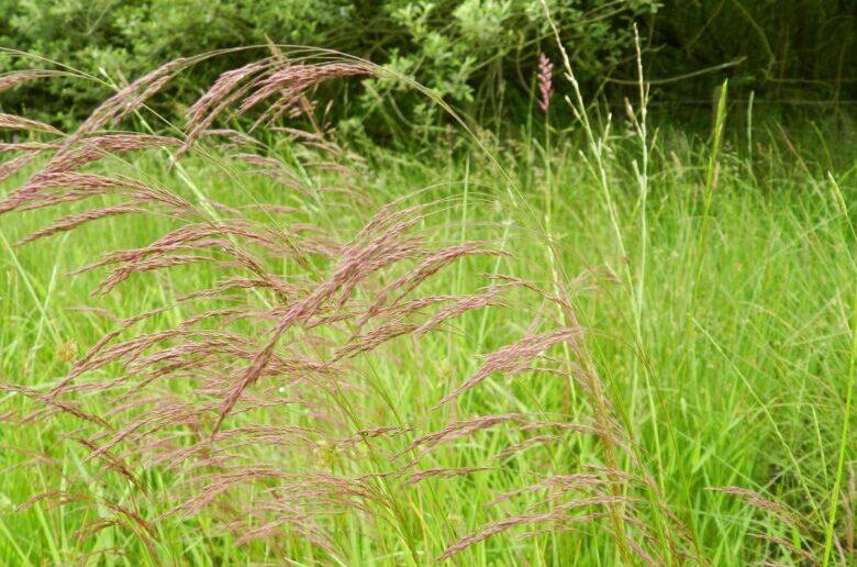 газонная трава полевица собачья