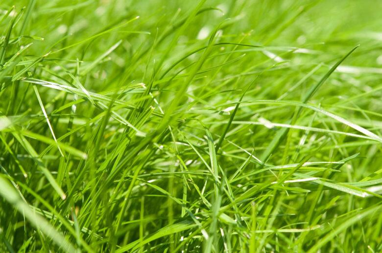 газонная трава райграс многолетний